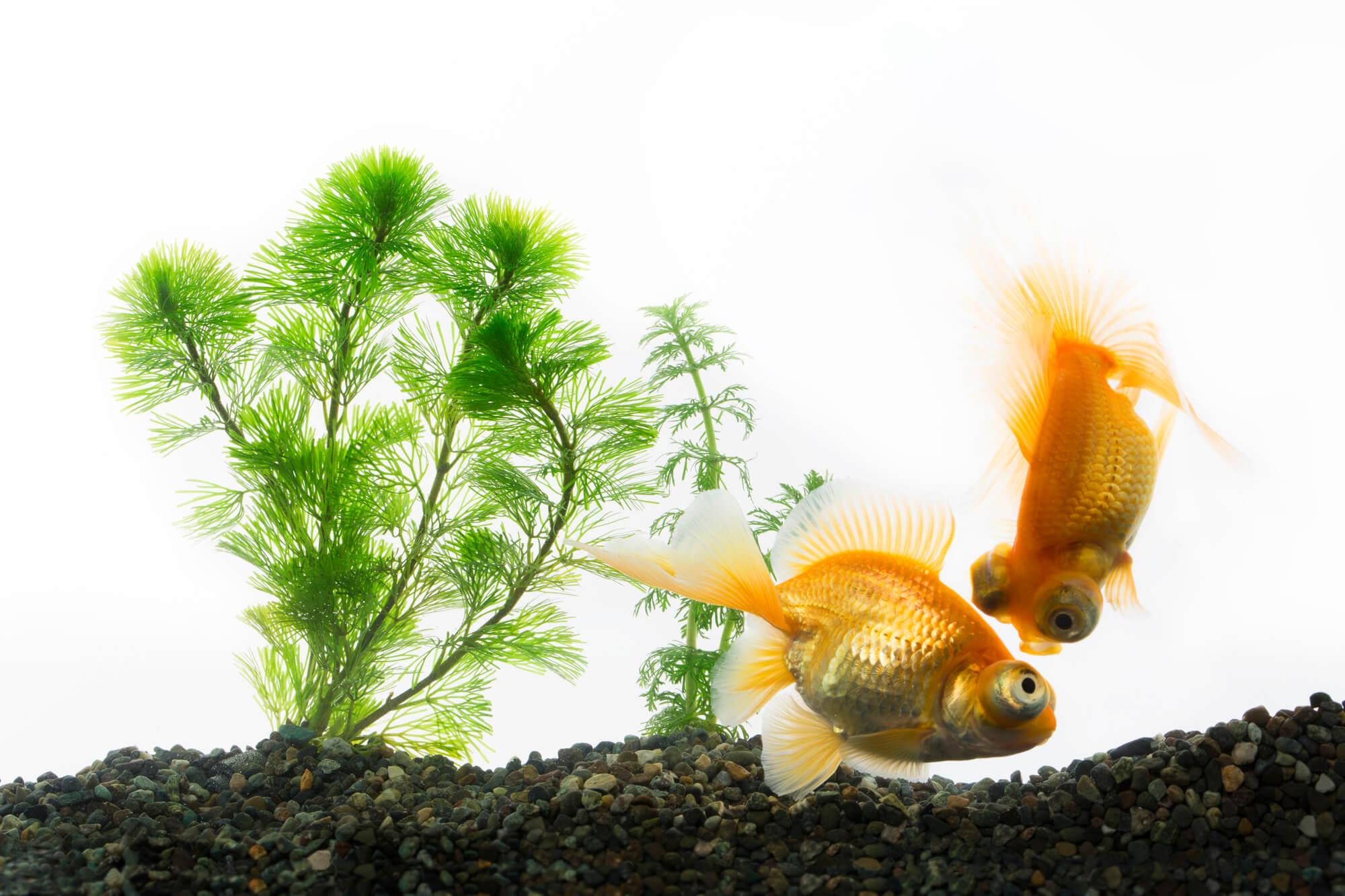 頭を下にして泳ぐ金魚