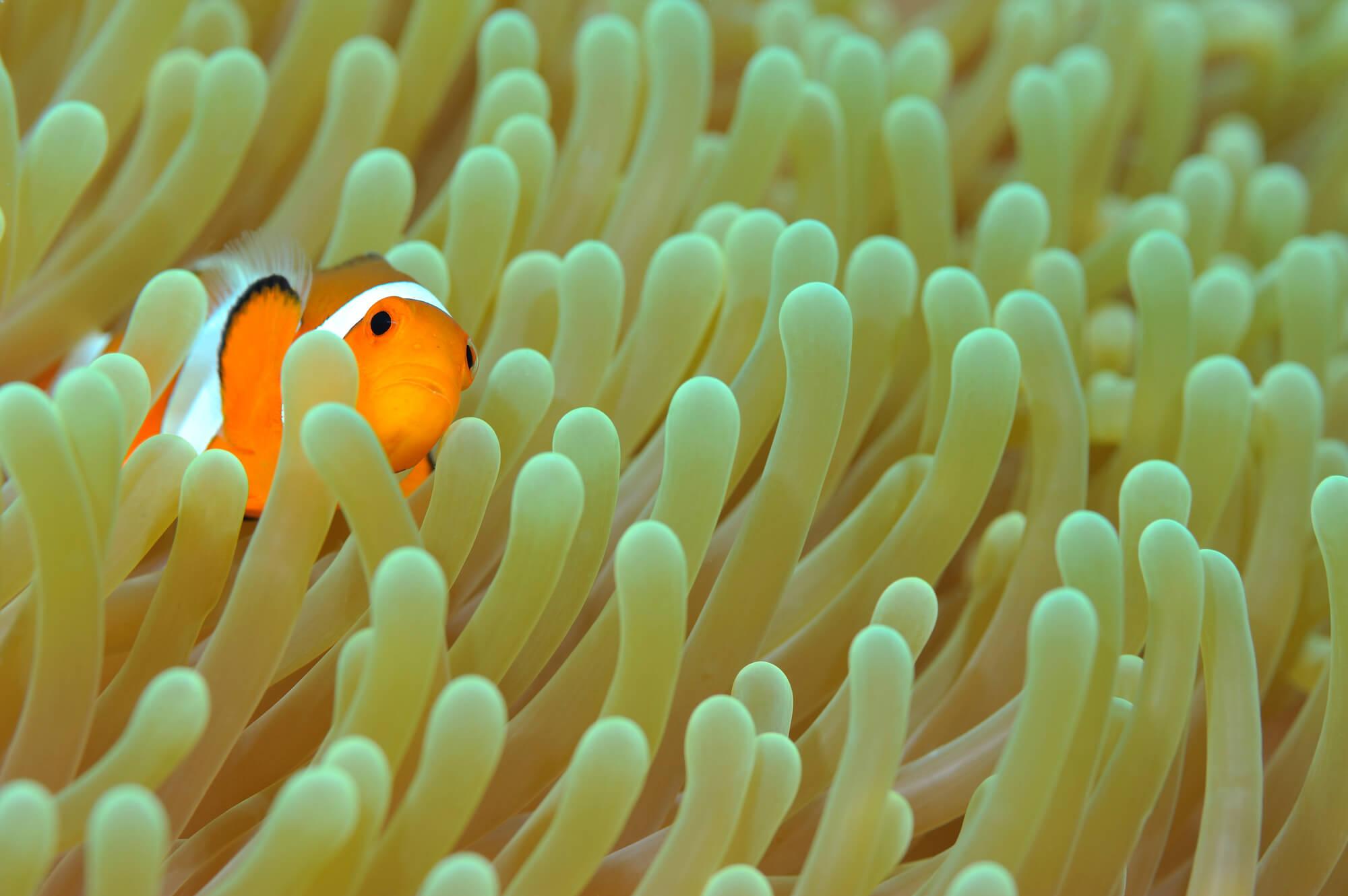 サンゴに隠れるクマノミ
