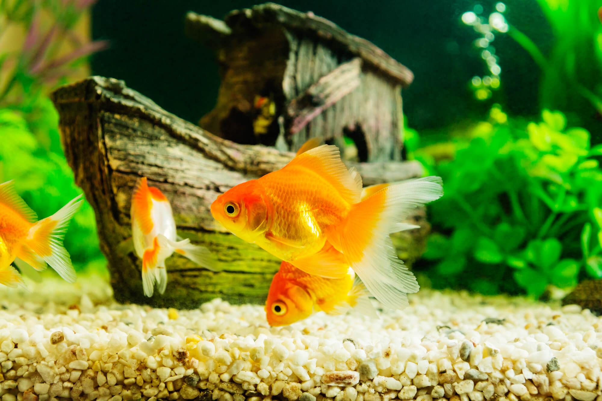 水槽にいる金魚