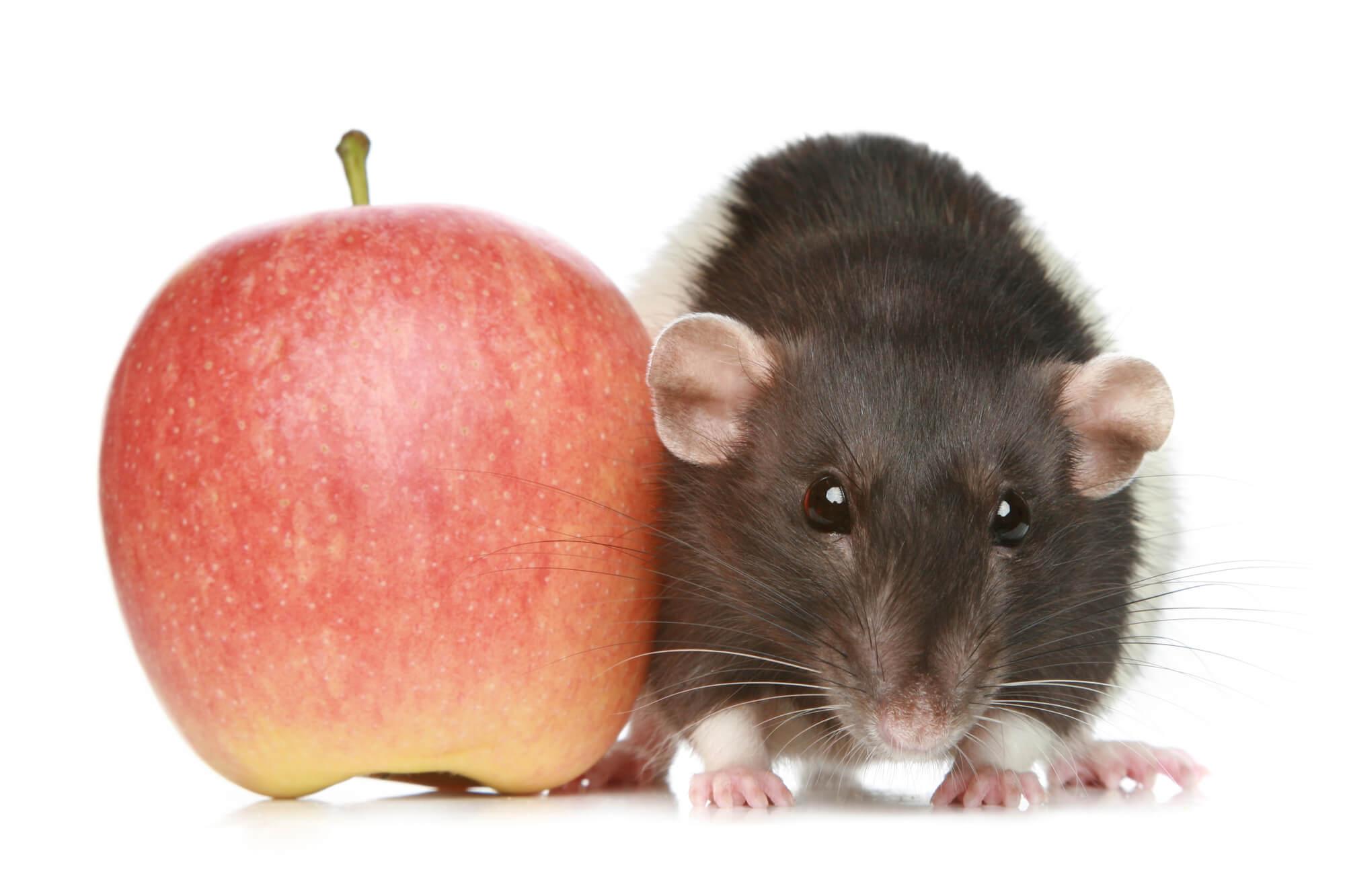 ハムスターとリンゴ