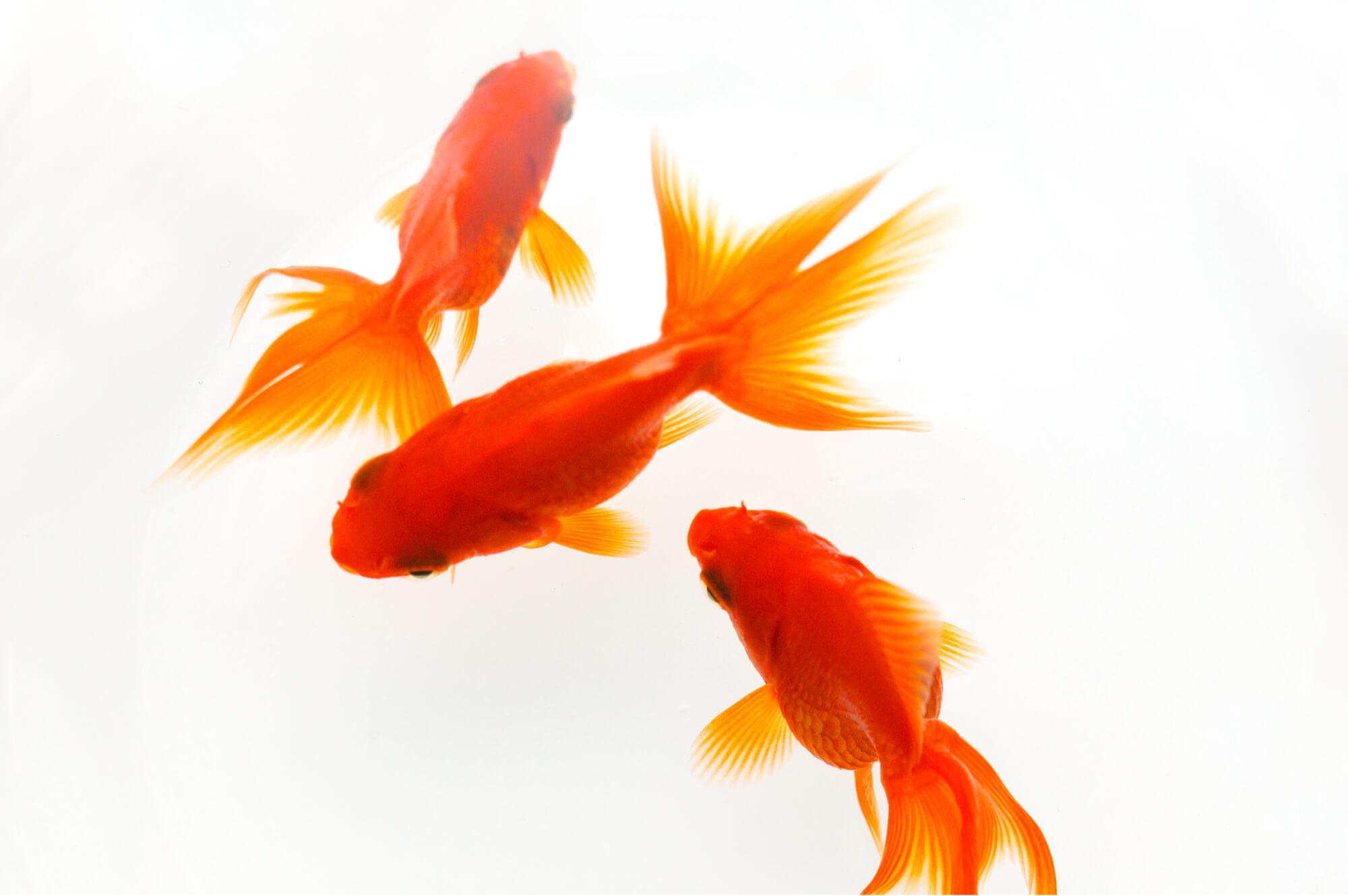 複数の金魚