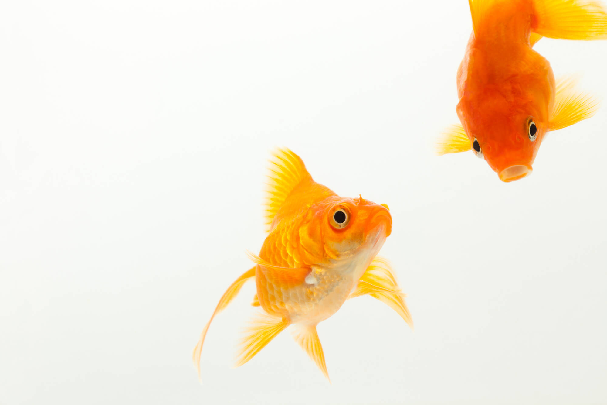 金魚の求愛行動