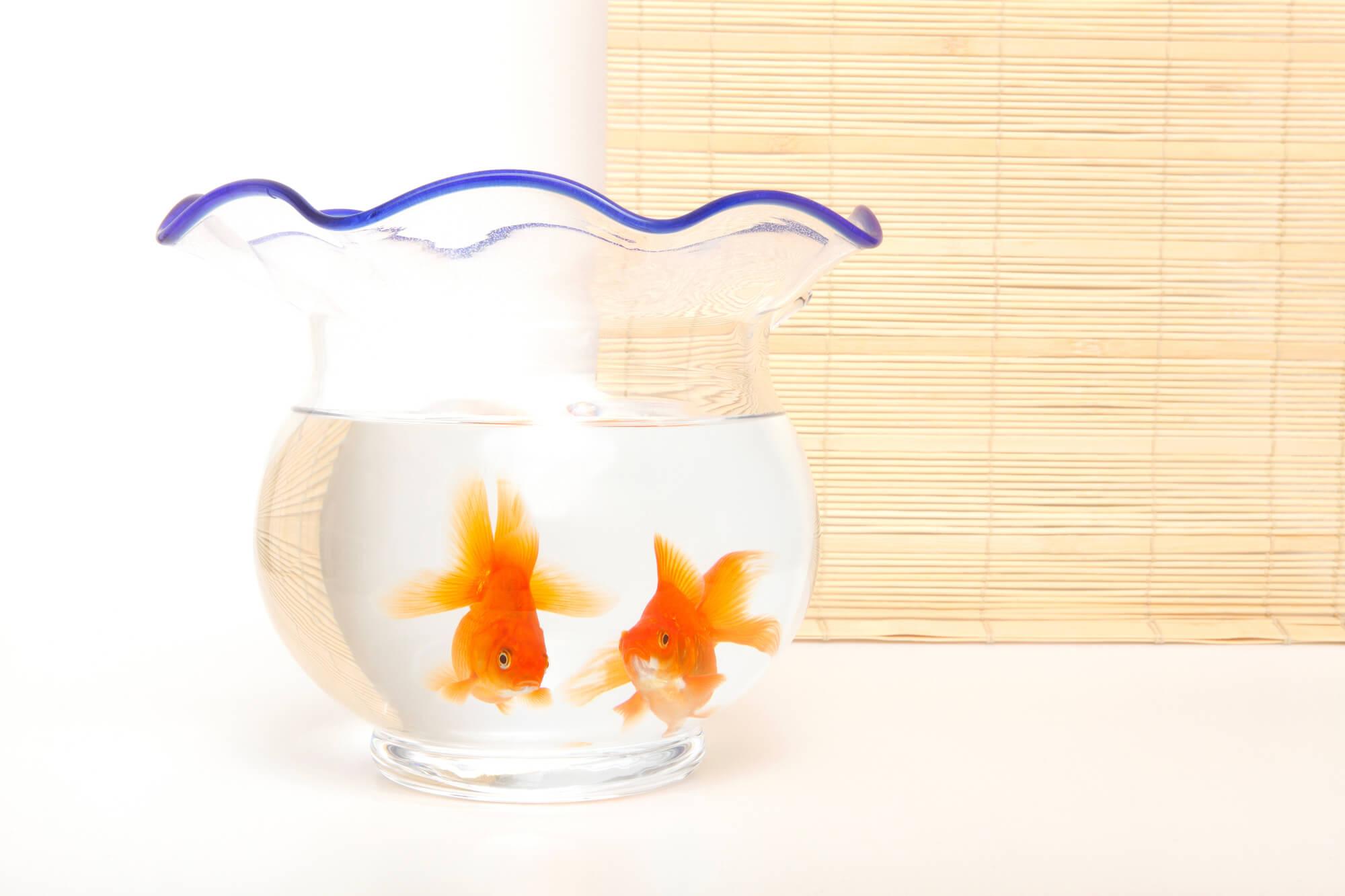 金魚のオスとメス